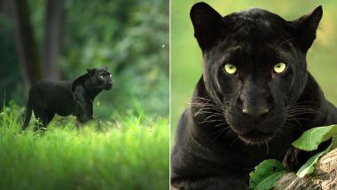 Viral Pics of Rare Black Panther 'Saya' Photographer Shaaz Jung Reveals It Took Him 5 Years to Track the Beautiful Animal; Here's a Look at Photos From Kabini Forest